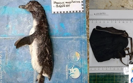 Mổ bụng xác chim cánh cụt dạt bờ, phát hiện nguyên nhân cái chết đau lòng