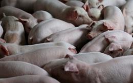 Các nhà khoa học Trung Quốc biến đổi gen lợn để ghép nội tạng cho người
