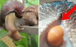 Mua 5 con ốc sên tiếp đãi khách quý, người đàn ông ngỡ ngàng khi phát hiện 'dị vật' bên trong khiến cuộc đời rẽ sang hướng khác