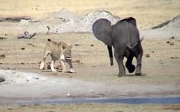 Cả gan 'cà khịa' sư tử, voi con trả giá bằng cả tính mạng