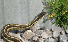 """Lộ diện mùi hương """"sát thủ"""" khiến rắn độc sợ hãi, cả đời không dám tới gần"""