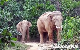 Phát hiện đàn voi rừng kéo về rẫy điều của người dân để canh cho voi mẹ đẻ