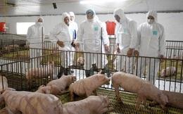 Giá lợn giống nhảy múa, nhiều doanh nghiệp lãi khủng