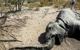 Cuộc chạy đua giải mã bí ẩn cái chết của hàng loạt con voi ở Nam Phi
