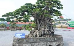 """Cận cảnh cây sanh """"Mộc thạch nghênh phong"""" cổ nhất châu Á, đại gia đổi 8 lô đất vẫn không bán"""
