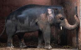 35 năm khổ sở của 'chú voi cô độc nhất hành tinh' sắp được tự do: Gánh chịu nỗi đau mất bạn đời, tình trạng sức khỏe ai nghe cũng xót xa