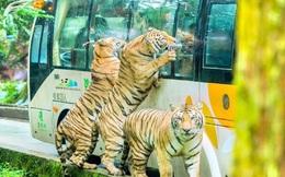 """[VIDEO] Nhiều vườn bách thú phải đóng cửa do Covid-19, động vật trầm cảm vì """"nhớ"""" khách"""