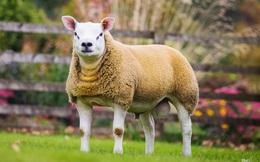 Chú cừu có giá đắt nhất thế giới, đắt hơn cả siêu xe!