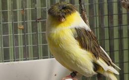 Gloster Canary: Loài chim kỳ lạ sở hữu 'quả đầu moi' cực chất