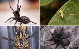 1001 thắc mắc: Loài nhện nào đáng sợ nhất thế giới?