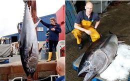 Mục sở thị con cá ngừ khổng lồ: Cân nặng khủng, mức giá có thể lên tới... hàng chục tỷ!