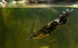 Nghiên cứu mới: Thú mỏ vịt mang trong mình nồi 'lẩu thập cẩm' gen của chim, bò sát và động vật có vú