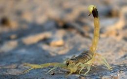 Giải mã vì sao nọc độc bọ cạp là chất lỏng đắt nhất thế giới