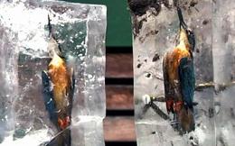 """Con chim bói cá cứng đơ trong tảng băng, ngỡ chỉ là tác phẩm nghệ thuật nhưng là thật 100%, """"sản phẩm"""" chỉ có trong mùa đông lạnh giá"""