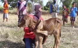 Chú bê đột biến với 5 chân ra đời, dân làng liên tục mơ thấy các con số trúng thưởng