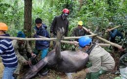 Gần 500 trâu bò chết do rét đậm, rét hại ở miền Bắc