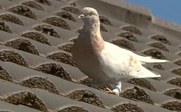 Phá kỷ lục 90 năm, chim bồ câu bay từ Mỹ tới Úc bị săn giết