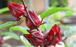 """Loại thảo dược quý được ví như """"Atiso đỏ"""", giúp sạch máu, hồi sinh gan, bổ thận: Ở Việt Nam có nhiều"""