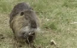 Loài động vật nhỏ bé đầy lông lá này bỗng chốc trở thành 'tội phạm bị truy nã' vì sự ăn tàn phá hại của mình