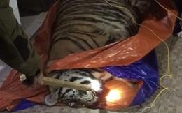 Phát hiện một con hổ nặng 250kg nằm bất động trong nhà dân ở Hà Tĩnh