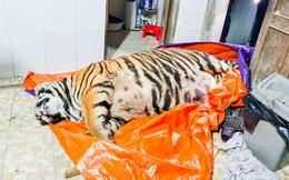 Vụ phát hiện con hổ nặng 2,5 tạ nằm trong nhà: Chủ nhân đã đến cơ quan công an đầu thú
