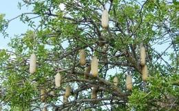 Kỳ lạ quả thiêng 10kg giống cây xúc xích, rơi có thể chết người