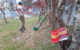 Mua bán đào rừng: Dán tem, không cần xác nhận