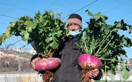 24h qua ảnh: Nông dân Palestine thu hoạch củ cải đỏ khổng lồ