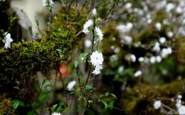 Mai trắng bọc rêu đầy thân cổ quái, hàng độc chơi Tết rao giá bất ngờ