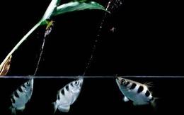 Cận cảnh 'cung thủ' dưới nước săn mồi cực đỉnh