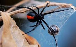 Bị 1 con nhện cắn vào tay nhưng không nỡ giết, viên lính không ngờ việc này đã cứu anh thoát khỏi vòng vây của quân địch