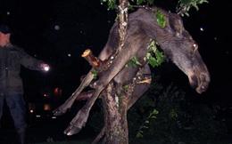 Nai sừng tấm bị mắc kẹt trên cây do... say rượu