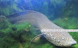 1001 thắc mắc: Loài cá kỳ lạ nào hít thở được không khí như người mà không chết?