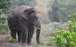 Một người dân nghi bị voi rừng tấn công nguy kịch