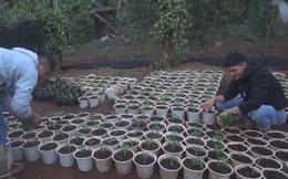 Tạm giữ người đàn ông trồng hơn 1.000 cây cần sa để cho gà ăn