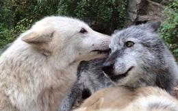 Chó vẫy đuôi thì rất dễ thương, nhưng sói vẫy đuôi thì có ý nghĩa gì?
