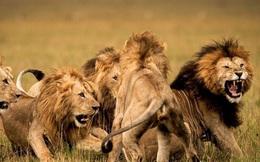 Trong liên minh sư tử, có phải mọi con đực đều có quyền giao phối không?