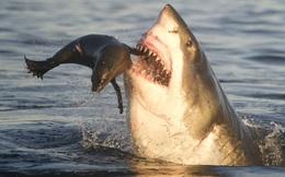 Phát hiện cá mập Úc và New Guinea tiến hóa thêm chân, có thể đi săn mồi ở vùng nước nông