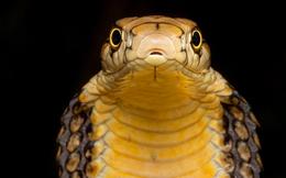 Ấn Độ cảnh báo xu hướng giết người bằng rắn độc