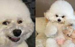 Ham Arang - chú chó bất ngờ nổi tiếng khắp thế giới vì nụ cười 'thảo mai' và thân hình mũm mĩm ú nu
