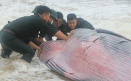 Giải cứu cá voi khủng mắc cạn tại vùng biển Thừa Thiên Huế