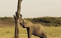 Du khách hoảng sợ vì voi trong khu bảo tồn đột nhiên phát điên đập đầu vào thân cây, nguyên nhân phía sau khiến ai cũng phẫn nộ