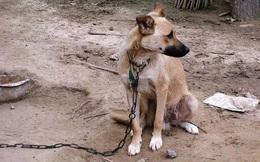 Chú chó ta bị xích suốt 10 năm, được thả ra một lần trước khi chết: Hành động cuối cùng khiến chủ nhân sửng sốt không nói nên lời!