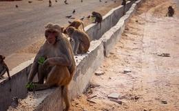 Người đàn ông tử vong sau khi bị khỉ tấn công bằng viên gạch