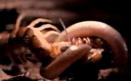 Clip: Rết khổng lồ tử chiến trước rắn kịch độc