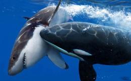 Đến cá mập trắng còn phải sợ cá voi sát thủ, vậy cá voi sát thủ có biết sợ loài nào khác không?