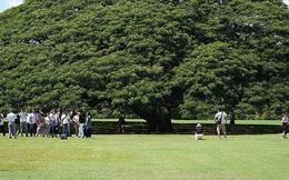 "Cây khổng lồ trăm tuổi ""hái ra tiền"" ở Hawaii"