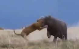 Clip: Sư tử bị hà mã cắn vỡ đầu