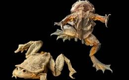 """""""Ếch bìu""""! Loài ếch khổng lồ Peru đang bị đe dọa nghiêm trọng và chỉ sống ở hồ Titicaca ở biên giới Bolivia và Peru"""
