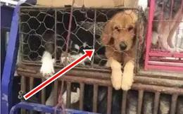 Bị chủ cũ bán đi vì quá nghịch ngợm, chú chó Golden làm ra một hành động khi được giải cứu khiến ai cũng nhói lòng
